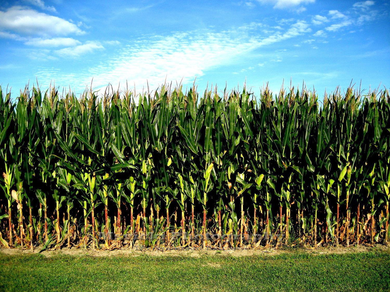 cornfield-7